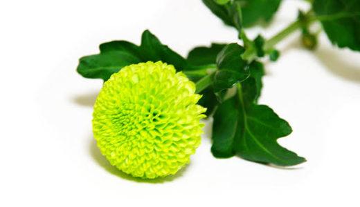 丸くて可愛いポンポン菊!ピンポン菊との違いは?アレンジ例も紹介