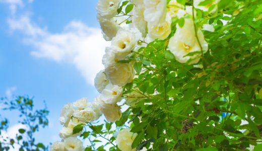 バラの鉢植えを育てている方必見!元気がない原因は黒点病かも?