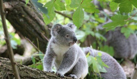 コアラに会える動物園まとめ|実は凶暴・ワンオペ育児と意外性たっぷり